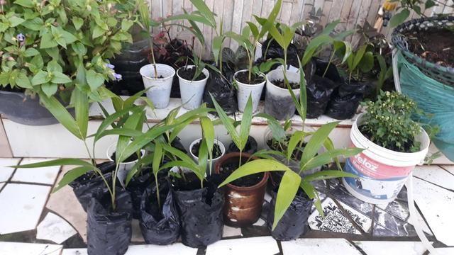 Vendo lindas mudas de Palmeira - Foto 2