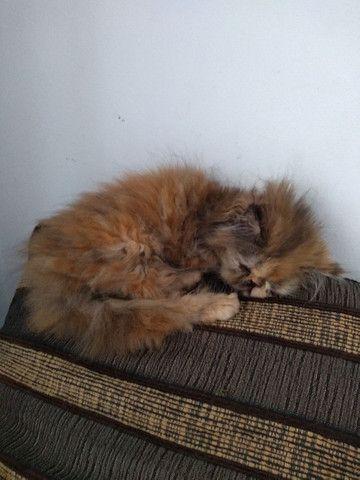Lindos gatinhos persa  - Foto 3