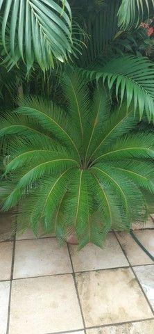 Vendo 3 plantas cicas  - Foto 2