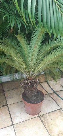Vendo 3 plantas cicas