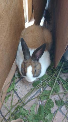 Vende-se se duas coelhas e um coelho