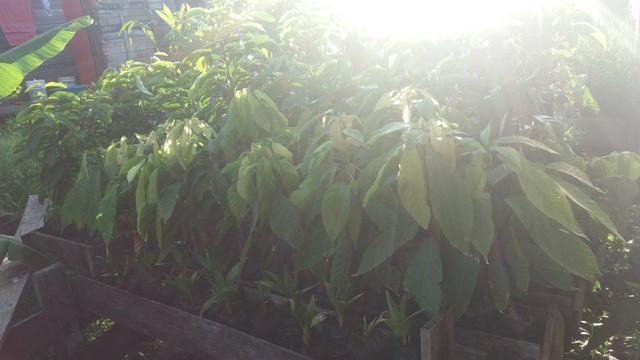 Mudas de plantas - Foto 4
