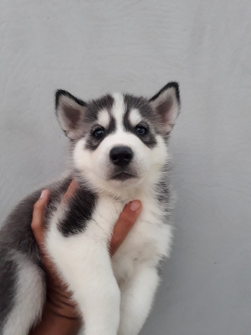 Lindo filhote de Husky Siberiano com olhos azuis com pedigree - Foto 3