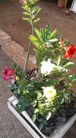 Rosas do deserto - Foto 6