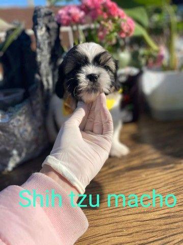 Shih Tzu macho acessíveis para você
