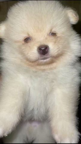 Os.mais lindos machinhos filhotes de lulu da pomerania - Foto 3