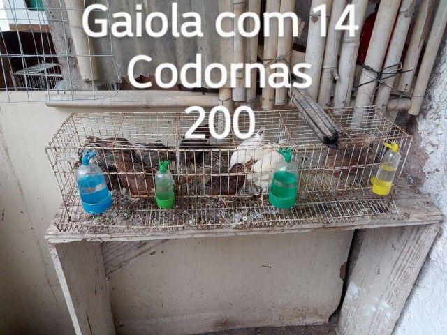 Polonesas codorna Angola ganso - Foto 4