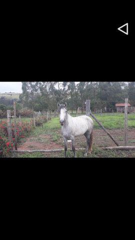 Cavalo Minero  - Foto 2
