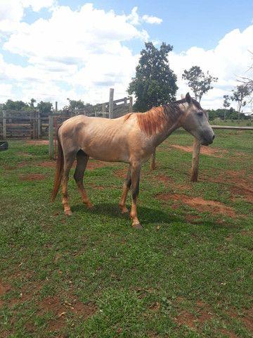 2 animais 1 egua e 1 cavalo  - Foto 6