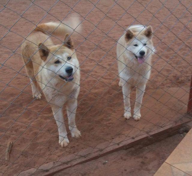 Filhotes de Akita inu - Foto 2