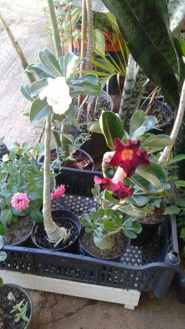 Rosas do deserto - Foto 5