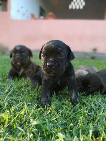 Bulldog Campeiro  - Foto 2
