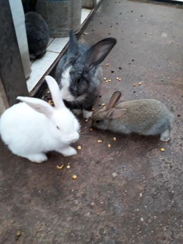 Vendo coelho adulto e filhotes 35 filhotes