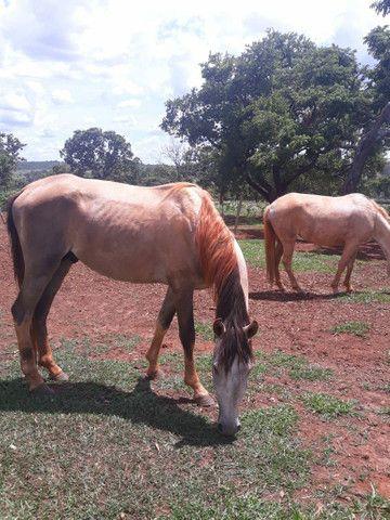 2 animais 1 egua e 1 cavalo  - Foto 4