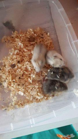 Lindos filhotes de  Anao Russo (Hamster) criação responsável ! - Foto 2