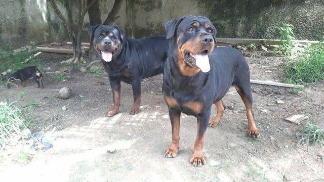 Filhotes de Rottweiler com pedigree CBKC  - Foto 2