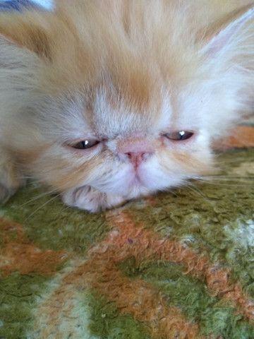Lindos gatinhos persa  - Foto 4