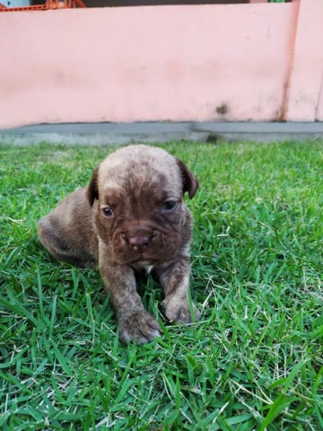 Bulldog Campeiro  - Foto 3