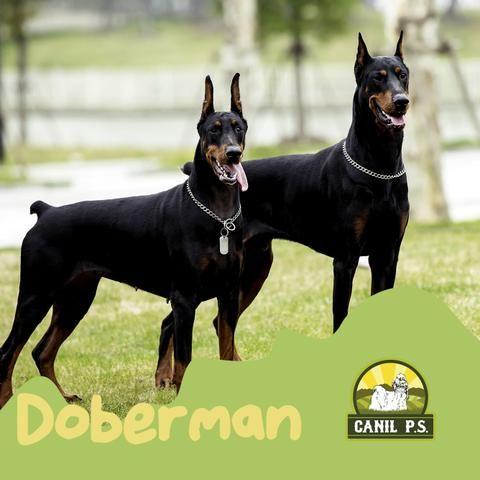 Doberman de alta genética e pedigre