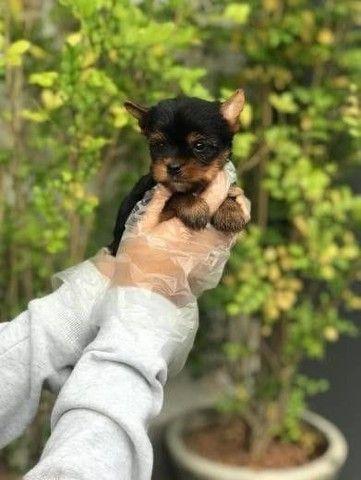 yorkshire terrier vacinados! - Foto 2