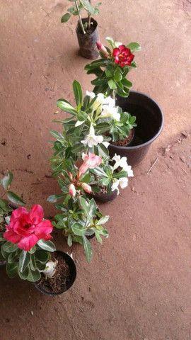Rosas do deserto - Foto 4