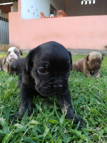 Bulldog Campeiro  - Foto 5