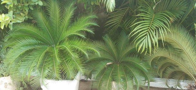 Vendo 3 plantas cicas  - Foto 3