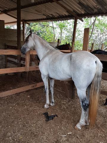 Cavalo mangalarga marchador muito premiado