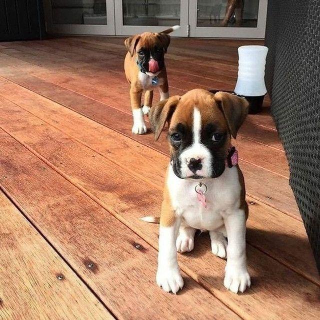 Boxer filhotinhos machinhos e fêmeas disponíveis! - Foto 4