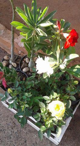 Rosas do deserto - Foto 3