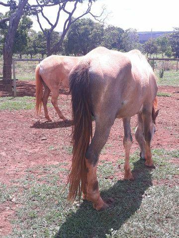 2 animais 1 egua e 1 cavalo