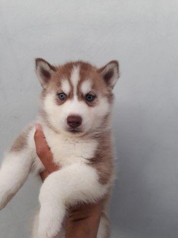 Lindo filhote de Husky Siberiano com olhos azuis com pedigree - Foto 2