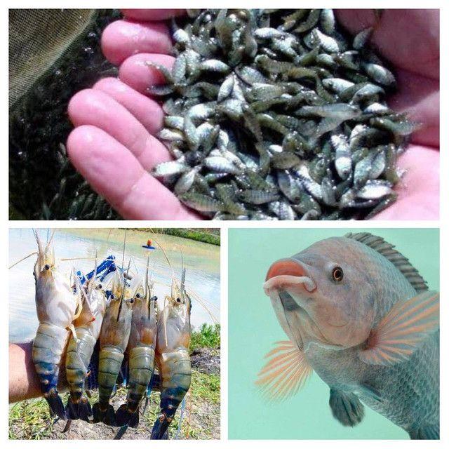 Consultoria técnica peixe e camarão(GO)