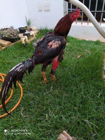 Vendo galos indios e galinhas e frangos indios