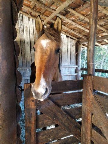 Vendo cavalo castrado  - Foto 3
