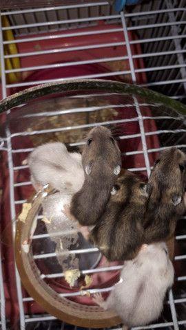 Lindos filhotes de  Anao Russo (Hamster) criação responsável ! - Foto 3