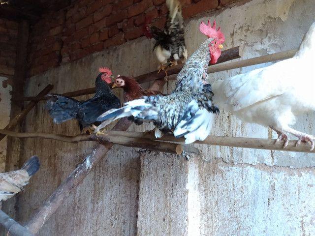 Vendo galinhos  garnizé nanicos - Foto 3