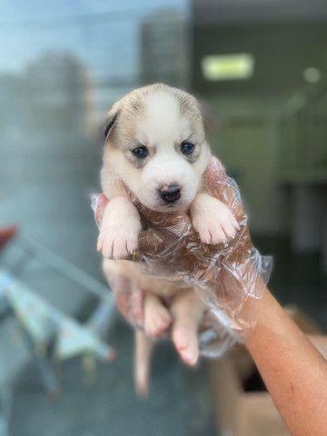Husky Siberiano filhotes com garantias de saúde  - Foto 4