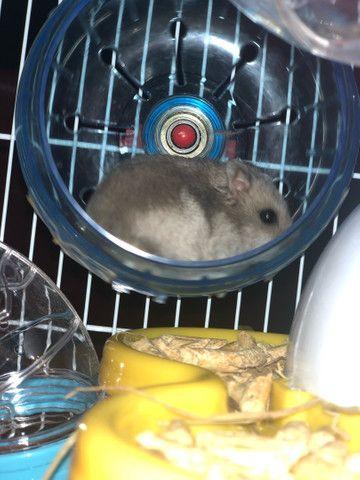 Lindos filhotes de  Anao Russo (Hamster) criação responsável !