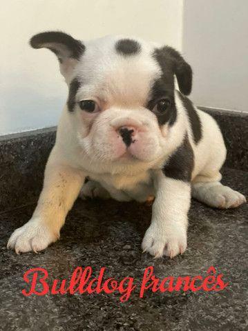 Bulldog Francês,  excelente linhagem