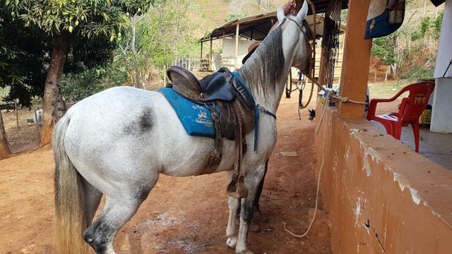 Cavalo mangalarga marchador muito premiado - Foto 2