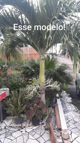 Vendo lindas mudas de Palmeira - Foto 3