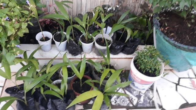 Vendo lindas mudas de Palmeira