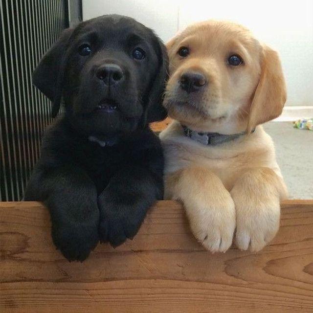 Labrador filhotinhos com garantias inclusas, entregamos em todas regiões!