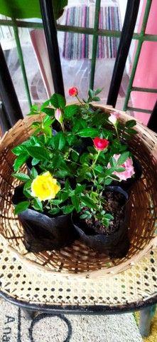 Planta roseiras flores rosa