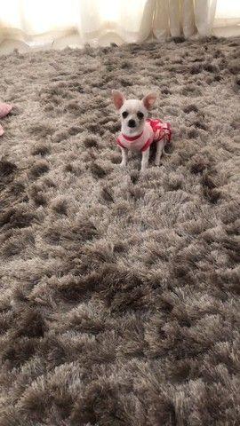 Chihuahua Femea  - Foto 3