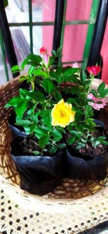 Planta roseiras flores rosa - Foto 3