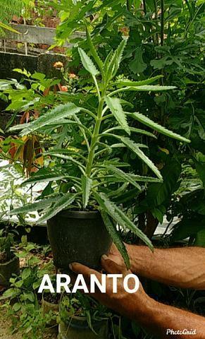 Vendo plantas ornamentais e medicinais - Foto 4