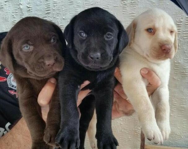 Labrador chocolate/amarelo/preto, machos e fêmeas com garantias e suportes exclusivos! - Foto 3