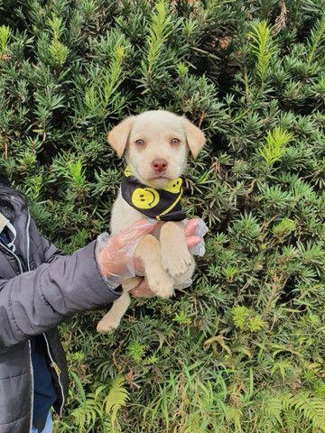Labrador pronta entrega - Foto 2